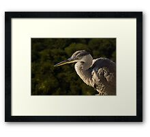 Focused Hunter - a Great Blue Heron Watching for Fish Framed Print