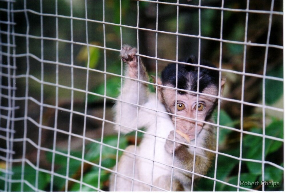 Like a caged monkey by Robert Phelps