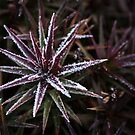 Frosted Richea scoparia, Mt Wellington, Tasmania by Jim Lovell