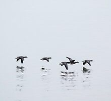Brent Geese in Flight by Ashley Beolens