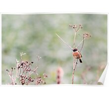 Male Stonechat Poster