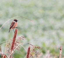 Stonechat on Bullrush by Ashley Beolens