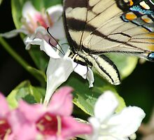 Butterfly Buffet by GwChicago