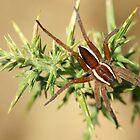 Raft Spider by MendipBlue