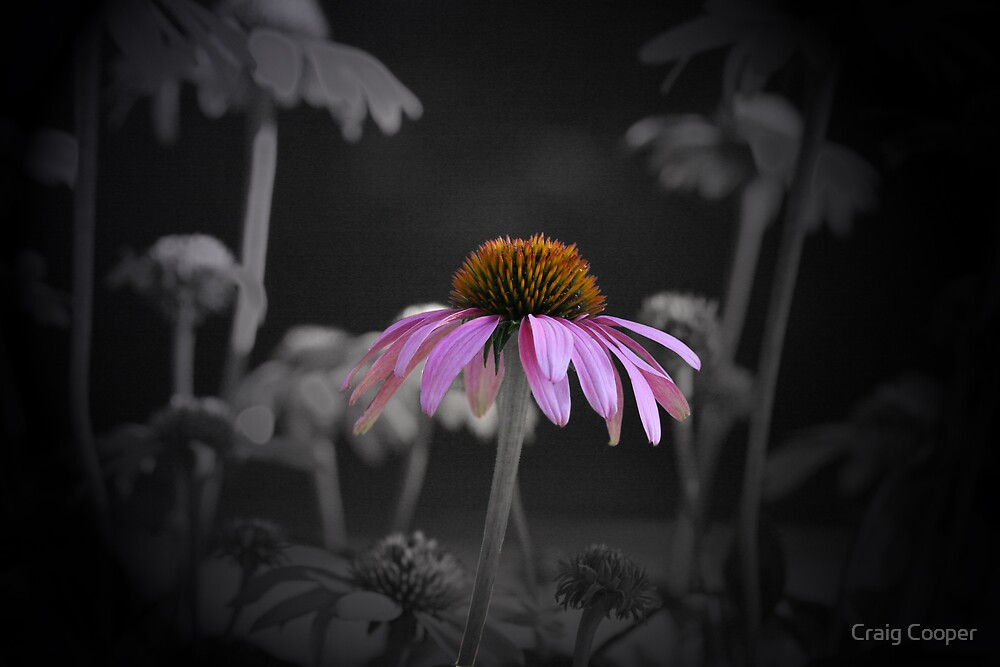 Coneflower by Craig Cooper
