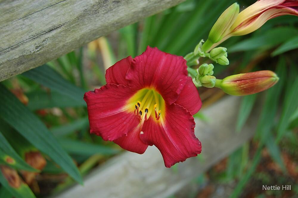 Red Flower by Nettie Hill