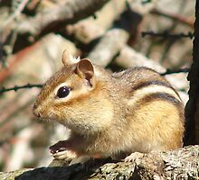 Little Chipmunk by katrae