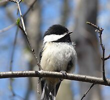 Chickadee by katrae
