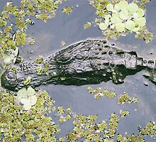 Alligators  by Amber Finan