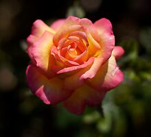Une Belle Rose by Luke Price