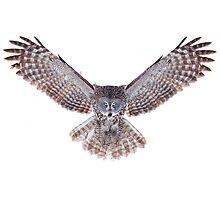 Great Grey Owl - Power Photographic Print