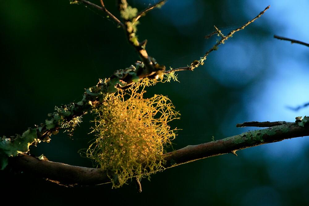 Lichen by psyme