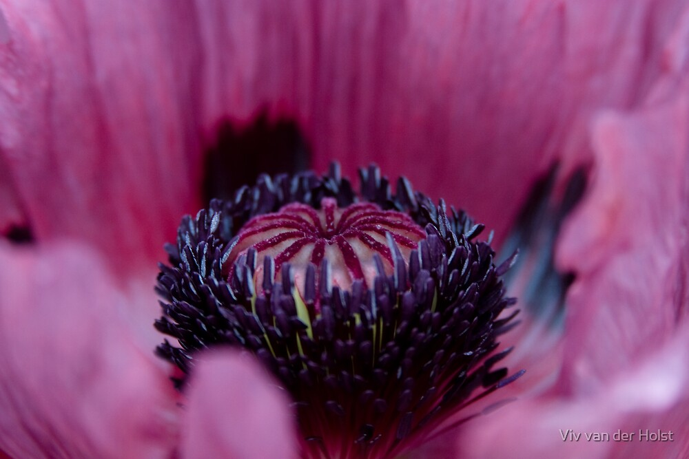 Poppy flower macro by Viv van der Holst
