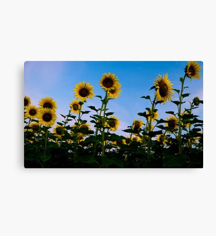Slovakian sunflower suprise Canvas Print