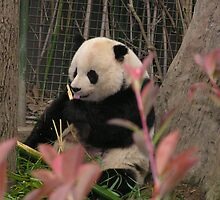Panda eating bamboo by Kerri Kenel