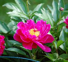 Pink Flower by Josh Johnston