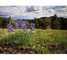 Mountain Lupines - Montana Photographic Print