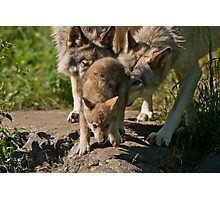 Timber Wolves And Pup Photographic Print