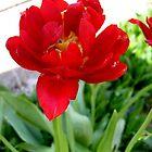 Red tulip by Ana Belaj