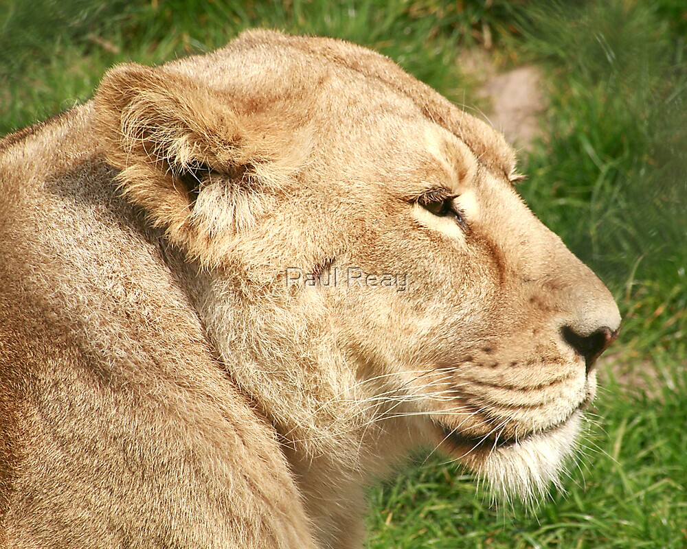 Lioness by Paul Reay