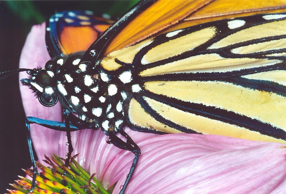 Monarch on Echinacea by Deverie