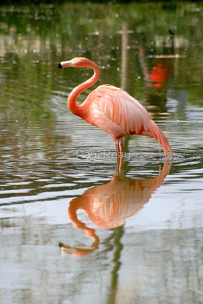 Flamingo Reflection by Paul Reay