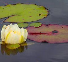 Lilly Pad by WayneSheridan