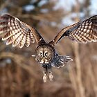 Great Grey Owl swoops down by Jim Cumming