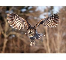 Great Grey Owl swoops down Photographic Print