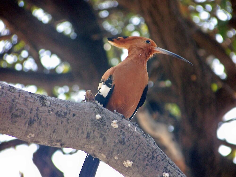 African Hoopoe by tj107