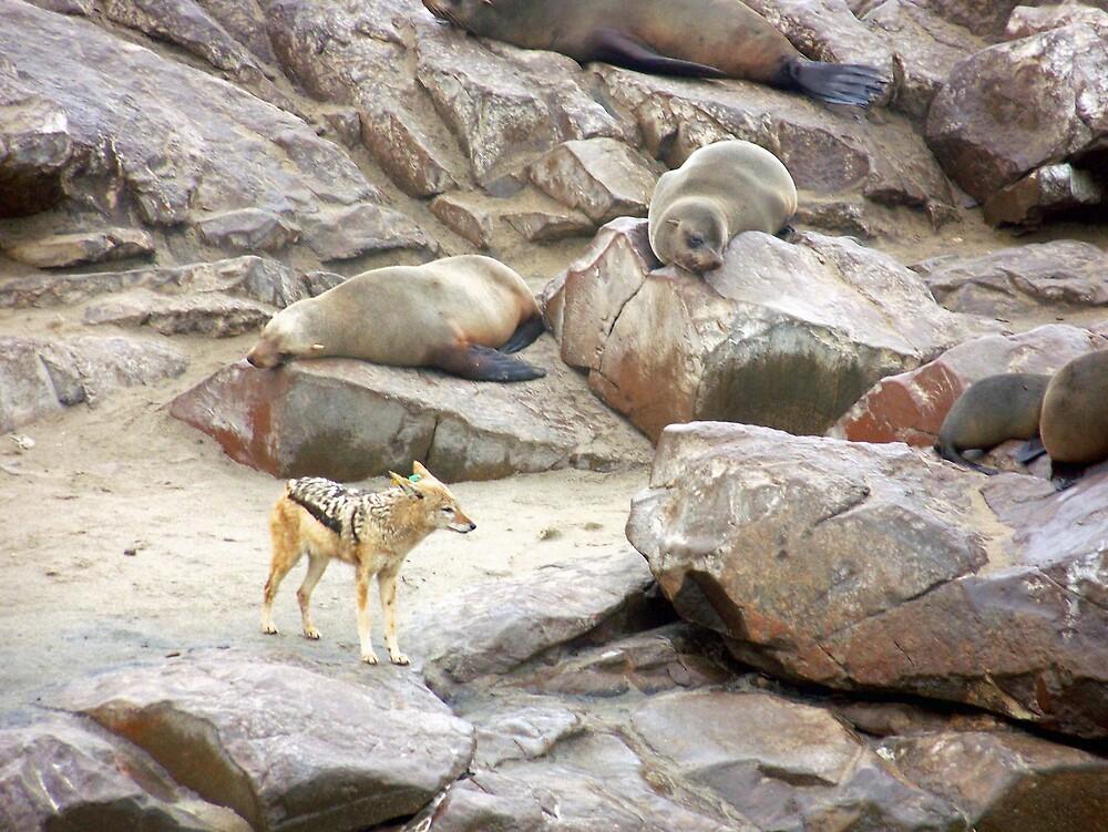 Jackel next to Cap Fur Seal by tj107