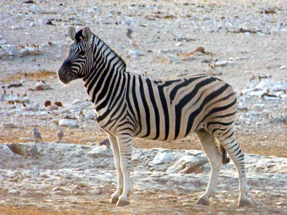 Zebra Grazing by tj107