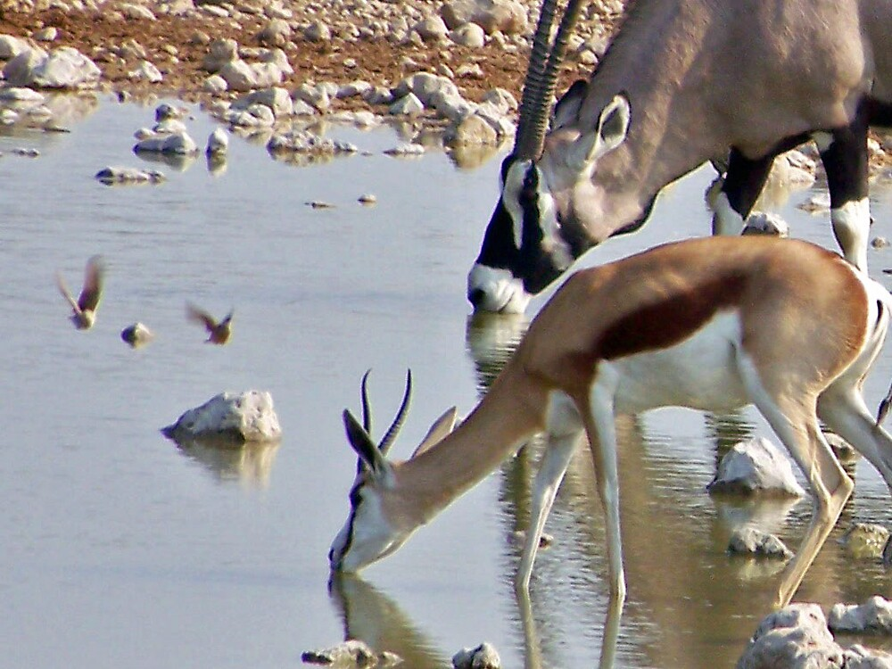 Oryx and Springbok Drinking by tj107
