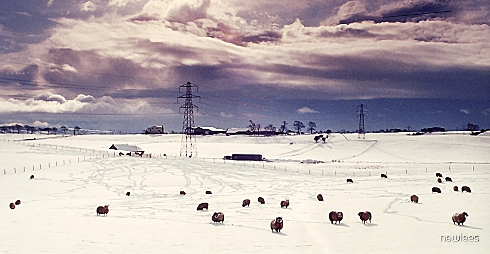 Sheep in Snow by newlees