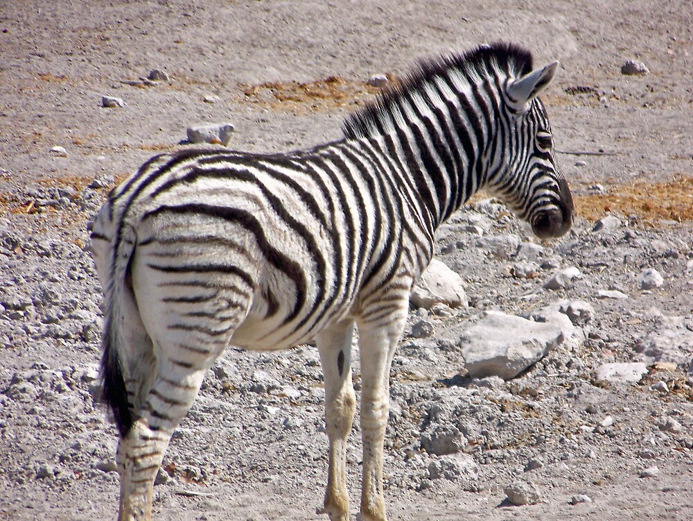 Zebra by tj107
