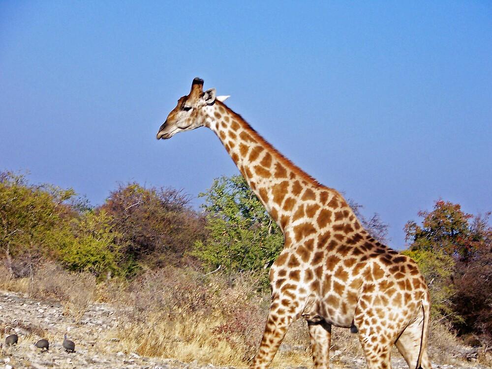 Giraffe moving by tj107