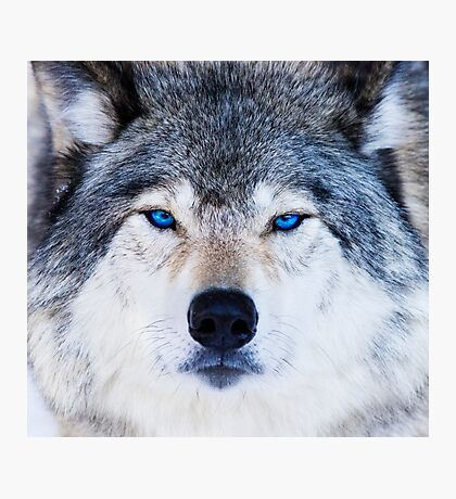 Blue Eyed Wolf  Photographic Print