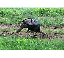 Eastern Wild Turkey Photographic Print
