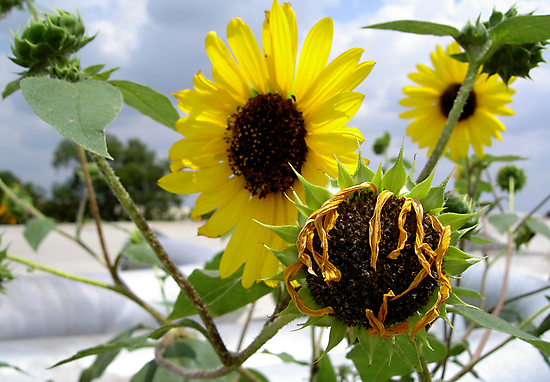 CYCLES OF A SUNFLOWER by DarrellMoseley