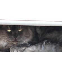 Bashfull Kitty Photographic Print