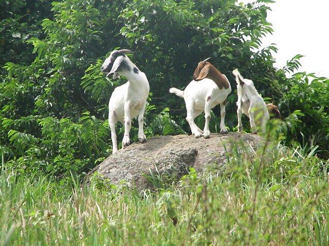 billy goats gruff by kangoll