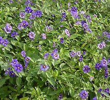 Potatoe Plant Flowers by saji