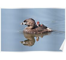 """""""Mom!...Timmy won't move over!"""" Pied-billed grebes Poster"""