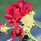 Red Roses by Mojha Renee MacDowell