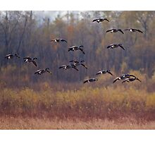 Canada Geese at the Audubon Center at Riverlands near west Alton, MO Photographic Print
