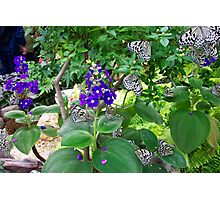 Fluttering Butterflys Photographic Print