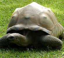 Giant Galapagos Tortoise by ransleydale