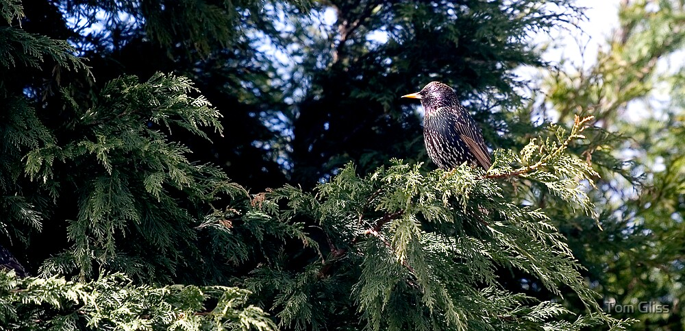 Starling by Tom Gliss