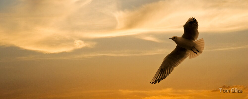 Seagull at sunset by Tom Gliss
