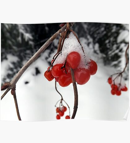 Snow Berries Poster